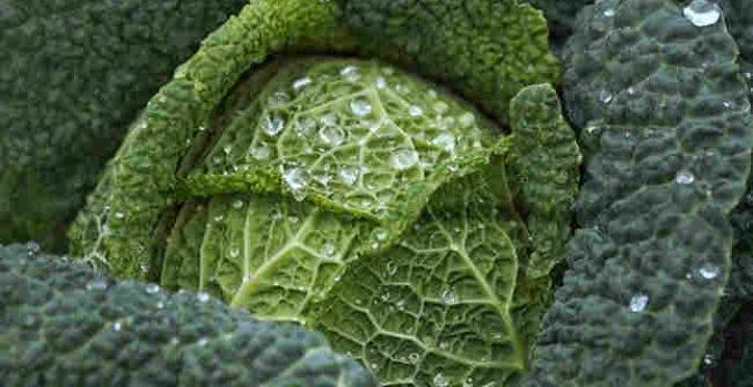 Grünkohl, Lebensmittel mit Vitamin K2